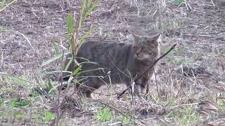 Αγριόγατα (Felis silvestris) European wildcat