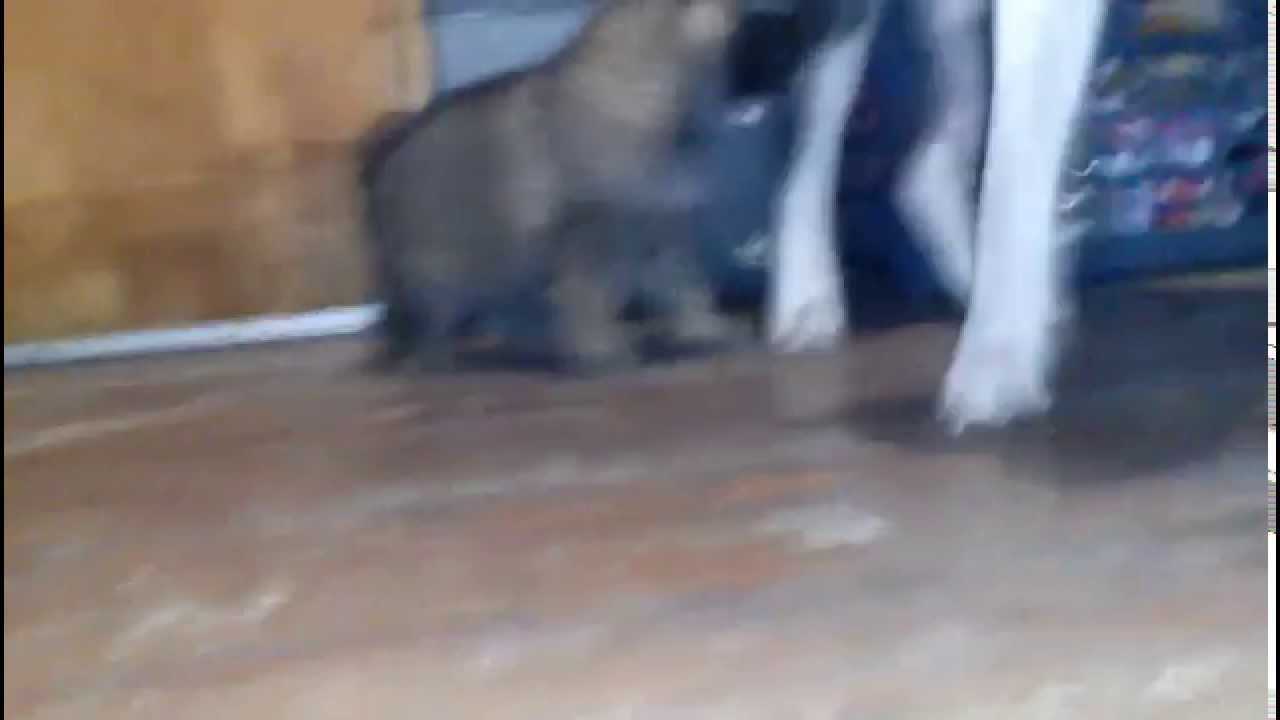 German shepherd pup fights pitbull protecting pack - YouTube