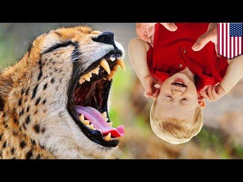 Wypadek W Zoo: Rodzice Upuszczają Dziecko Do Wybiegu Dla Gepardów