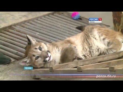 В пензенском зоопарке маленькую пуму воспитывают как домашнего питомца