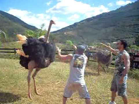 Avestruz atacando o Daniel