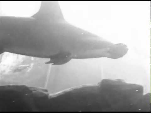Bears Submarine Bears on a Submarine Shark
