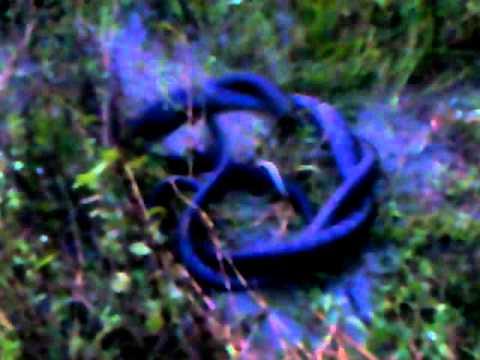Snake Sex..assam video