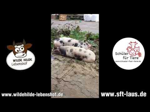 Schüler für Tiere Bellheim & Kandel besucht Lebenshof WILDE HILDE - Die Schweine -