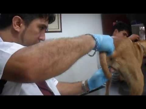 Zoofilia En CÚcuta-colombia; Rescatamos Canina Victima De Este Aberrante Maltrato video