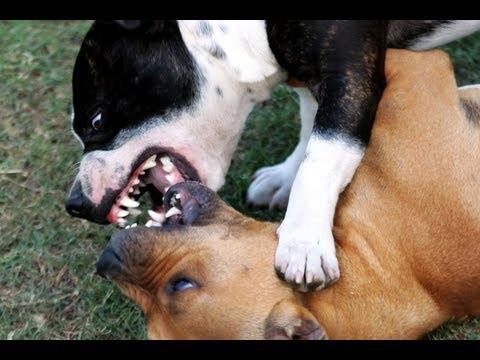 Peleas de perros clandestinas en Los Berrocales