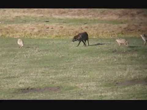 Wolf Harassed by Coyotes... and Bison join in!