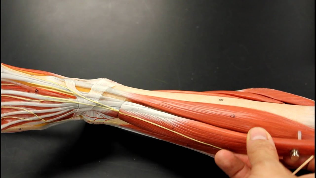 MUSCULAR SYSTEM ANATOMY: Anterior leg muscles model ...