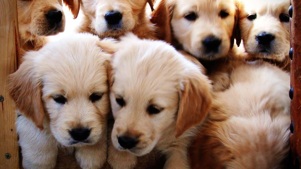 Golden Retriever Puppies growing weeks 1-12 - YouTube