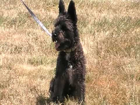 july 1 2010 video one Scotty the Scottish Terrier Poodle Mix Wag On Inn Rescue.MOD