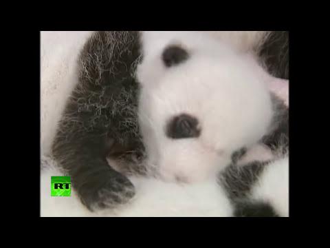 Presentan en sociedad a 14 osos panda bebés nacidos por inseminación artificial