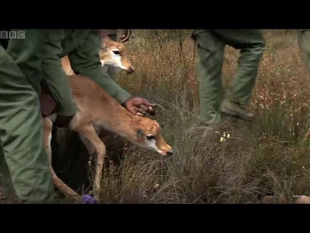 Reuniting Mother and Calf Bonteboks - Vet Safari - BBC