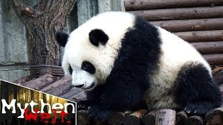 Was die Todesstrafe in China mit Pandas zu tun hat