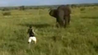 වීරකමද? මෝඩකමද?Drunk Man Charges A Wild Elephant
