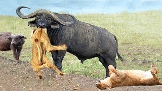 OH MY GOD! Unbelievable, The God can't help Stupid Lion Escape The Power Of Buffalo