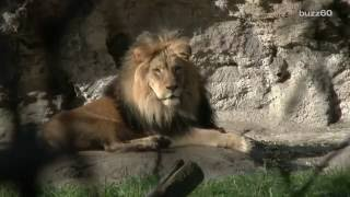 Lions in India Charged with Murder and Sentenced to Life in a Zoo