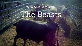 A Walk Among the Beasts: Feeding Pure Longhorn Cattle Off-grid