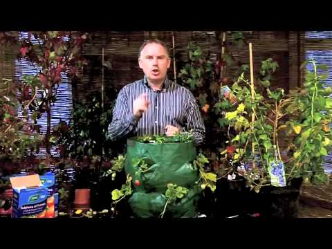How To Grow Strawberries   Growing Strawberries   Killarney Garden Centre