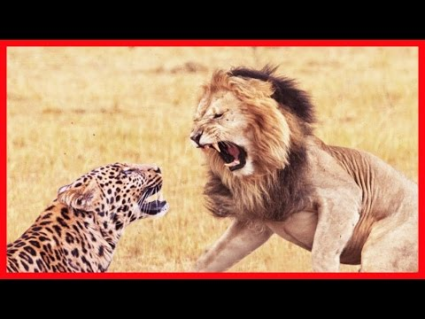 The animal world 2016 -  Lion and the struggle to survive