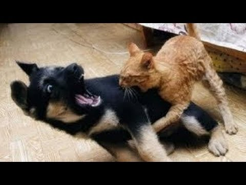 Best Funny Videos - Dogs scared of cats - Funny animal compilation