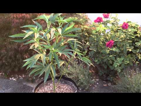 2015 Headband Marijuana Dark Heart Nursery Grow