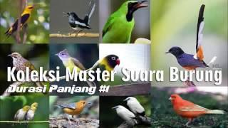 Download Lagu Koleksi Masteran Suara Kicau Burung Lengkap Durasi Panjang #1 Gratis STAFABAND