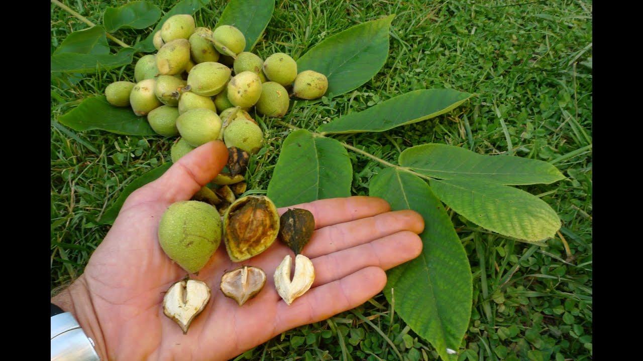 Орехи в Сибири. Лещина, или фундук - Сад Особенности выращивания фундука 88