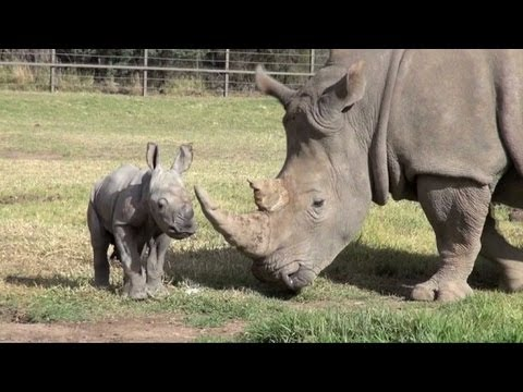 Australian zoo says white rhino birth 'sign of hope'