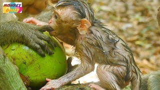 Pity to see Alex newborn starve eating food with kidnapper|Pity baby much hungry|Monkey Daily 792
