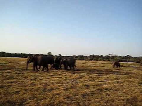 Wild Elephants in Safari Park Sri Lanka
