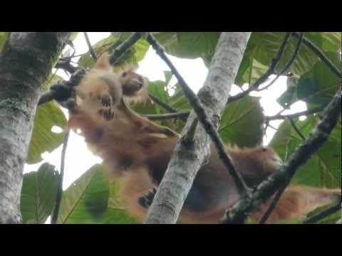 Orangutans in wild Sumatra