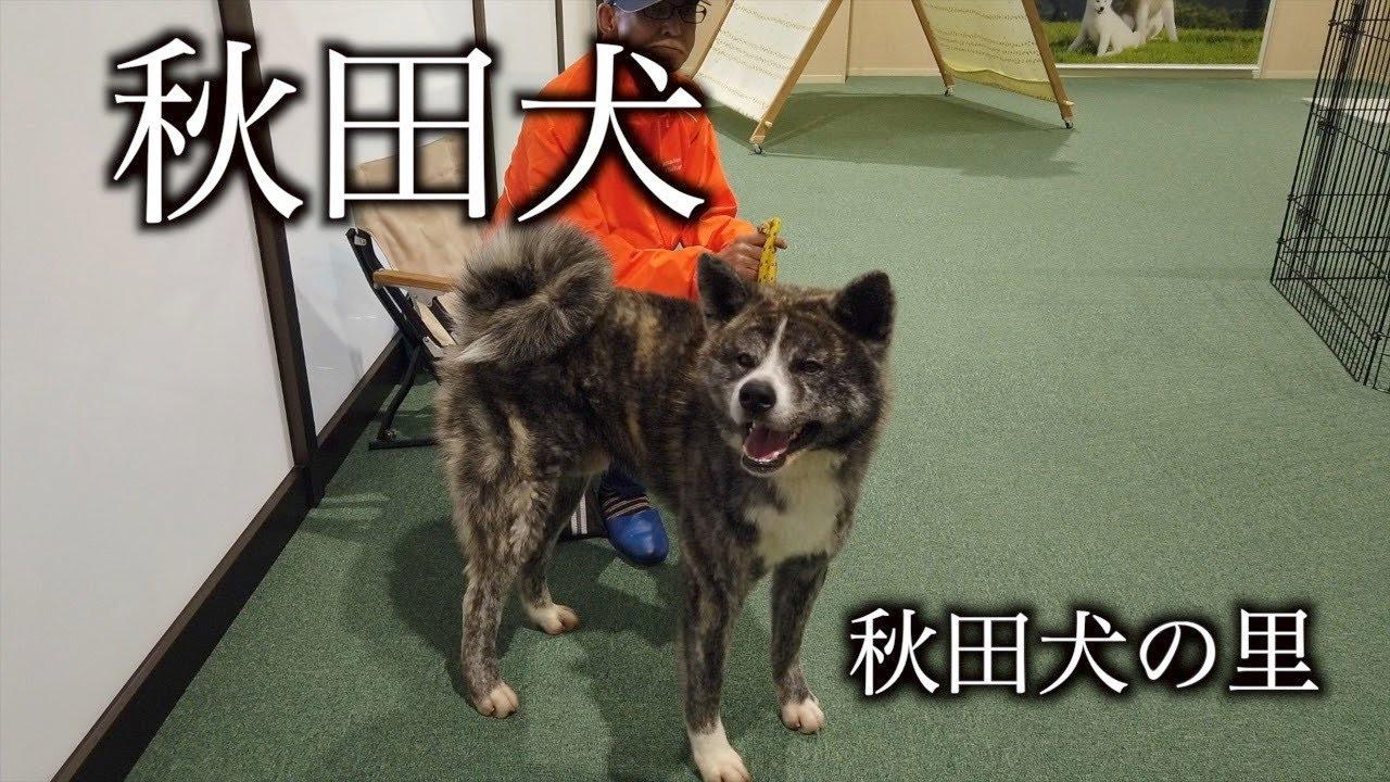 秋田犬の画像 p1_6