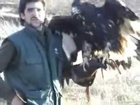aguila real a conejo