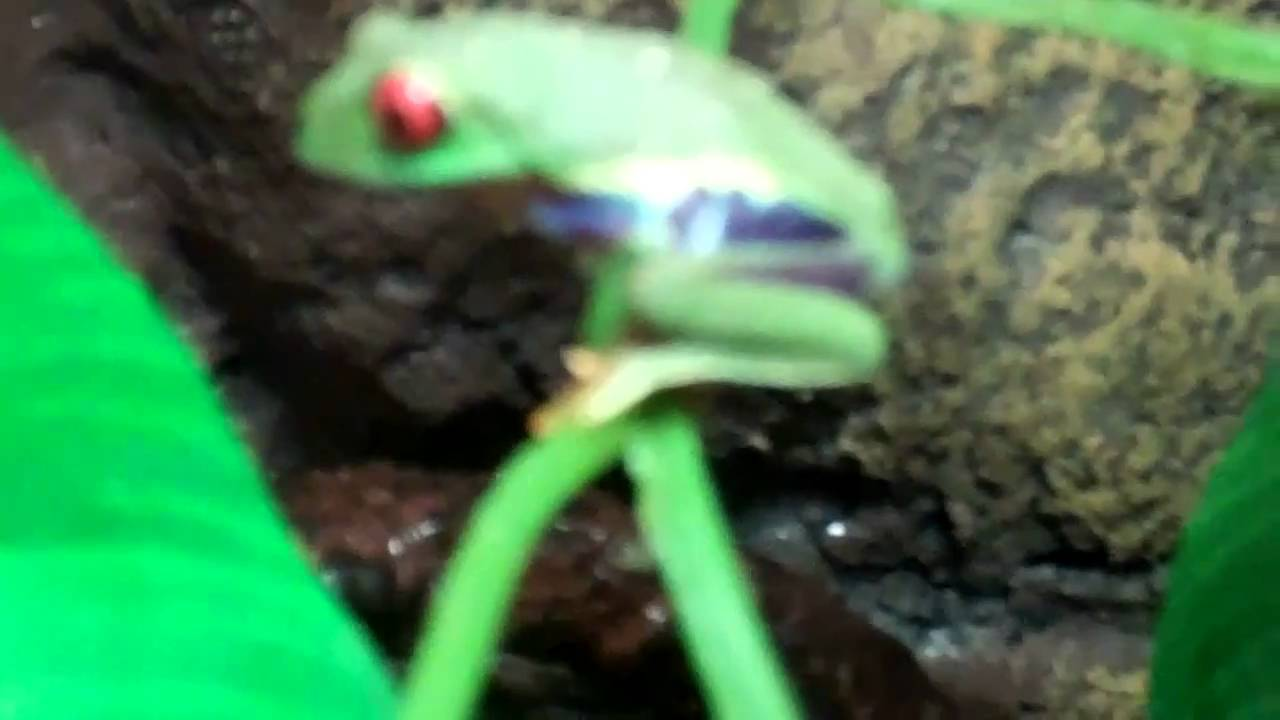 baby red eye tree frog eats a cricket - YouTube
