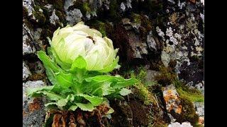 Thiên sơn tuyết liên: Hoa sen cực hiếm của Tây Tạng 7 năm mới nở 1 lần trên núi tuyết giá 5triệu/hoa