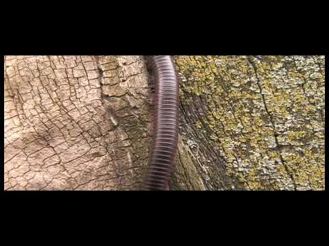 Tanzanian giant red banded black millipede Video