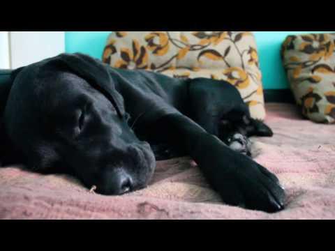 Лабрадор: бег и лай во сне