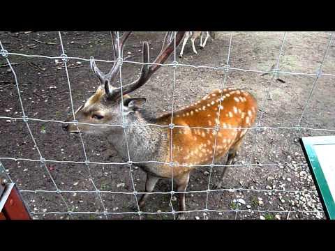 Deer sing