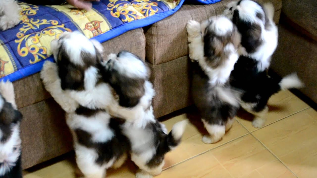 shih tzu puppies after the 1st bath