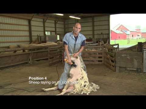 Sheep Shearing Penn State Extension