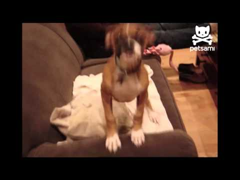 Puppy shakes with excitement