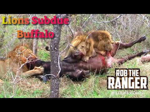 Intense Footage:Three Male Lions Killing A Buffalo Bull