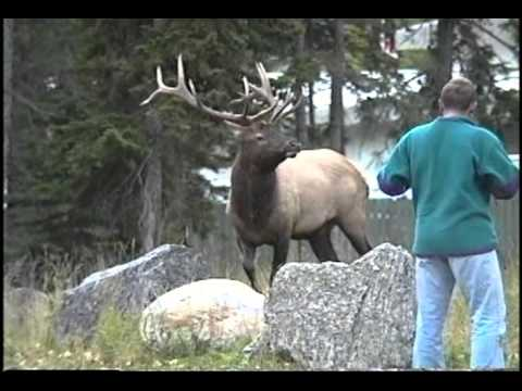 As we arrived into the beautiful town of Banff, we saw a huge majestic Bull Elk guarding his turf, and happened to see some tourists walk up close to take ph...