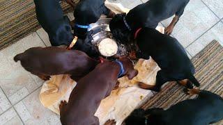 【珍光景】くるくる風車のように回りながら食事をする7匹の子犬たち