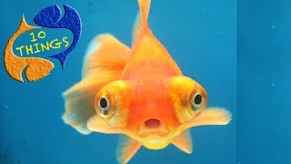 The Most Popular And Saddest Fish In Aquariums, 10 Things You Should Know About Goldfish!