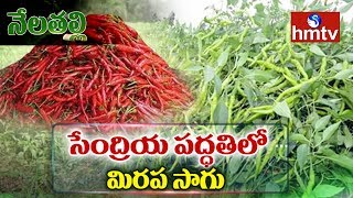 Organic Farming of Chilli | Techinques In Mirchi Cultivation | Nela Talli | hmtv