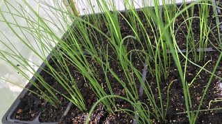 How to start Chinese Chives seeds