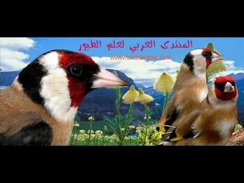 Goldfinch singing palistine