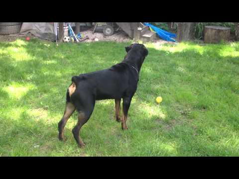 Rottweiler Home Protection Test