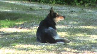 Watch Blue Dogs Watchful Cow video